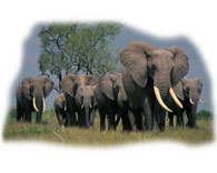 Plains Elephants